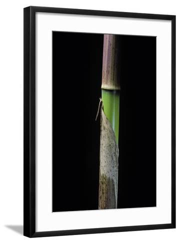 Phyllostachys Flexuosa (Sinuate Bamboo) - Young Culm-Paul Starosta-Framed Art Print