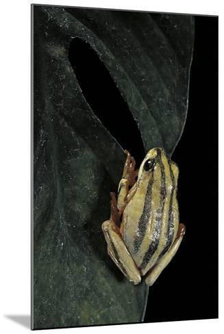 Hyperolius Marmoratus Taeniatus (Marbled Reed Frog, Painted Reed Frog)-Paul Starosta-Mounted Photographic Print
