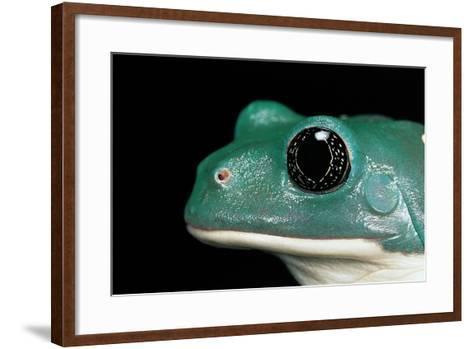 Pachymedusa Dacnicolor (Mexican Leaf Frog)-Paul Starosta-Framed Art Print