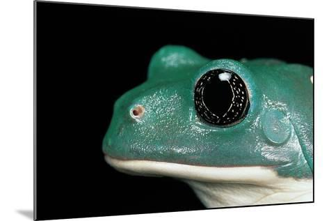 Pachymedusa Dacnicolor (Mexican Leaf Frog)-Paul Starosta-Mounted Photographic Print