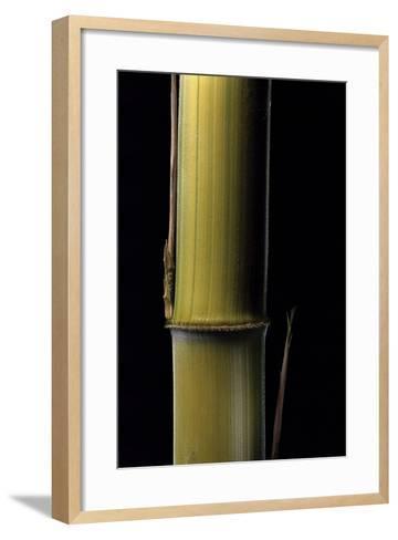 Phyllostachys Pubescens 'Bicolor' (Mosochiku Bamboo) - Joung Culm-Paul Starosta-Framed Art Print