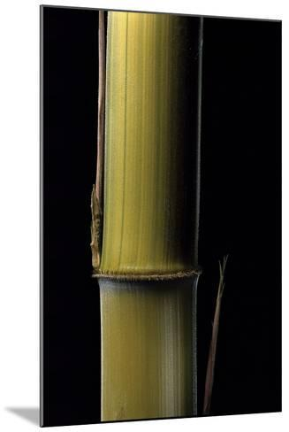 Phyllostachys Pubescens 'Bicolor' (Mosochiku Bamboo) - Joung Culm-Paul Starosta-Mounted Photographic Print