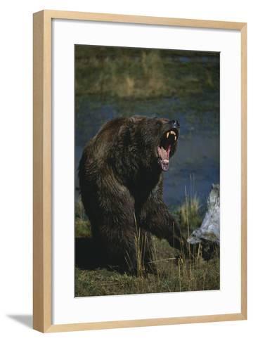 Grizzly Roaring-DLILLC-Framed Art Print