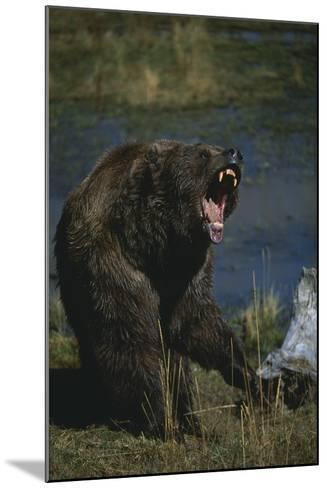 Grizzly Roaring-DLILLC-Mounted Photographic Print