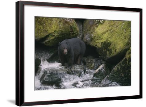 Black Bear in Stream-DLILLC-Framed Art Print