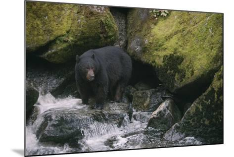 Black Bear in Stream-DLILLC-Mounted Photographic Print