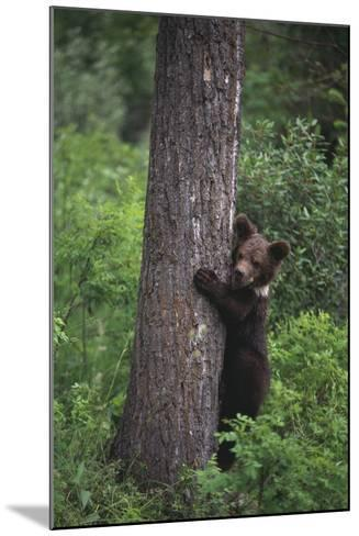 Grizzly Cub on Tree-DLILLC-Mounted Photographic Print