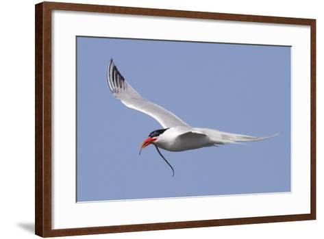 Elegant Tern Flies with Pipefish in it's Bill-Hal Beral-Framed Art Print