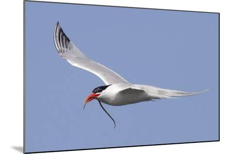 Elegant Tern Flies with Pipefish in it's Bill-Hal Beral-Mounted Photographic Print