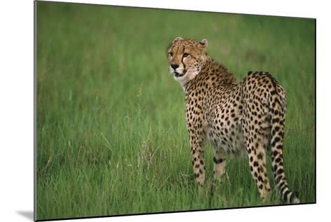 Cheetah Standing in Grass-DLILLC-Mounted Photographic Print