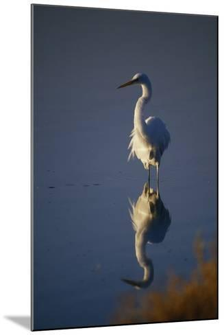 Great Egret and Reflection-DLILLC-Mounted Photographic Print