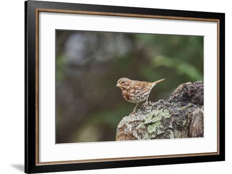 Fox Sparrow-Gary Carter-Framed Art Print