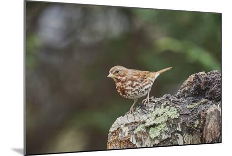Fox Sparrow-Gary Carter-Mounted Photographic Print