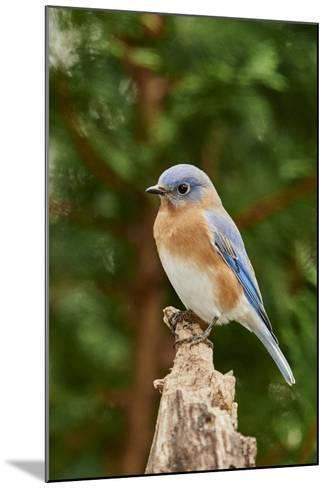 Eastern Bluebird-Gary Carter-Mounted Photographic Print