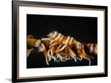 Whip Coral Shrimp-Bernard Radvaner-Framed Art Print