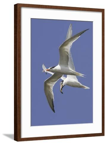 Elegnat Terns in Flight with Fish in their Bills-Hal Beral-Framed Art Print