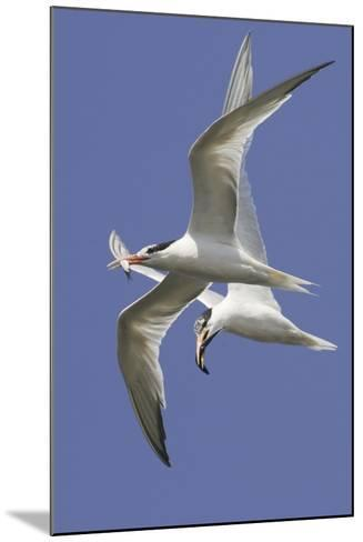 Elegnat Terns in Flight with Fish in their Bills-Hal Beral-Mounted Photographic Print