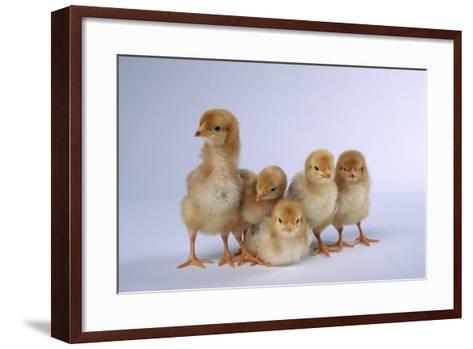 Rhode Island Red Chicks-DLILLC-Framed Art Print