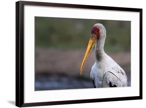 Yellow-Billed Stork-Sergio Pitamitz-Framed Art Print