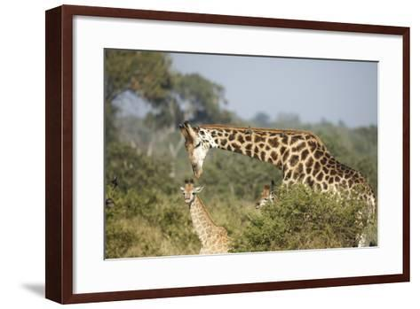 Giraffe Male and Calf-Richard Du Toit-Framed Art Print