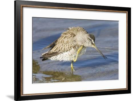 Short-Billed Dowitcher Grooming-Hal Beral-Framed Art Print