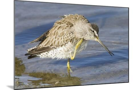 Short-Billed Dowitcher Grooming-Hal Beral-Mounted Photographic Print