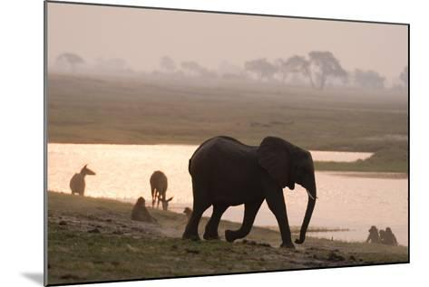 African Elephant Running to the River-Sergio Pitamitz-Mounted Photographic Print