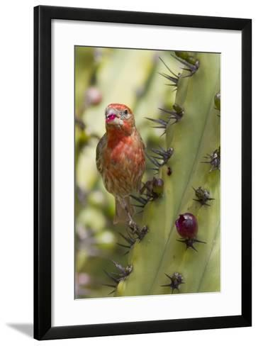 House Finch Eats Cactus Fruit-Hal Beral-Framed Art Print