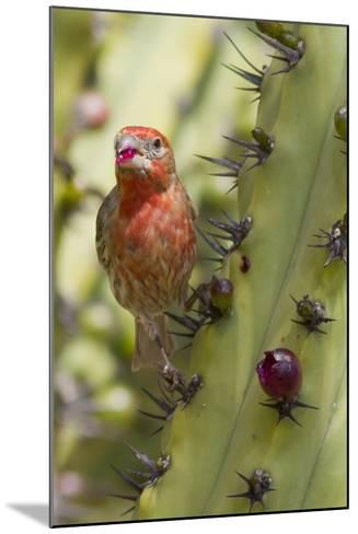 House Finch Eats Cactus Fruit-Hal Beral-Mounted Photographic Print