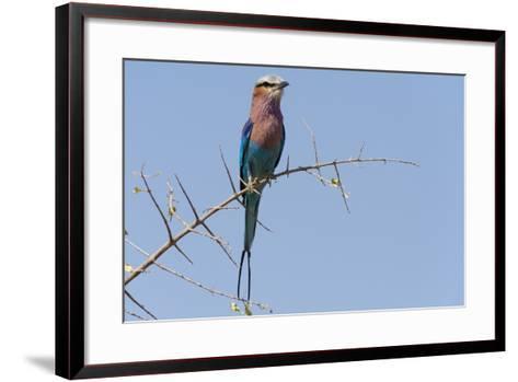 Lilac-Breasted Roller-Sergio Pitamitz-Framed Art Print