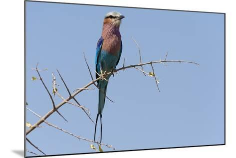 Lilac-Breasted Roller-Sergio Pitamitz-Mounted Photographic Print