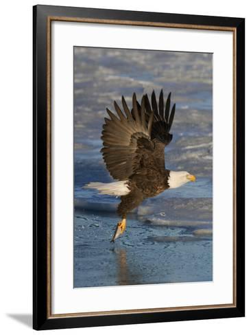 Bald Eagle Catchs a Fish in it's Talons-Hal Beral-Framed Art Print