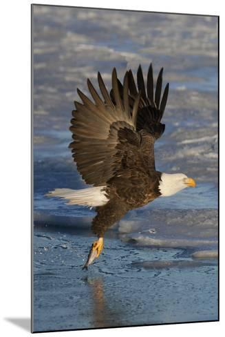 Bald Eagle Catchs a Fish in it's Talons-Hal Beral-Mounted Photographic Print