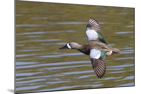 Blue-Winged Teal Drake Flys-Hal Beral-Mounted Photographic Print