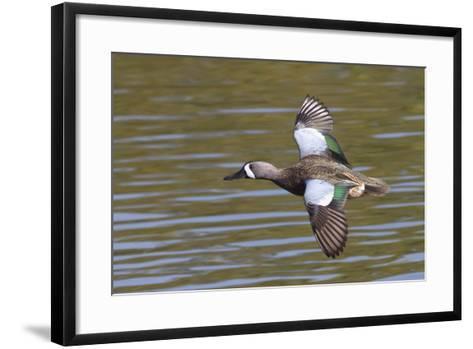 Blue-Winged Teal Drake Flys-Hal Beral-Framed Art Print