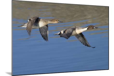 Pair of Northern Pintails in Flight-Hal Beral-Mounted Photographic Print