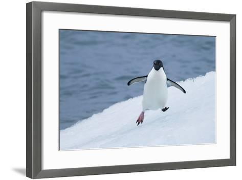 Adelie Penguin-Joe McDonald-Framed Art Print