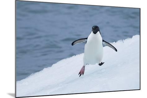Adelie Penguin-Joe McDonald-Mounted Photographic Print
