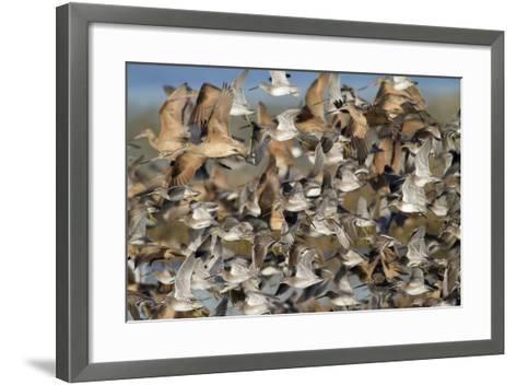 Large Flock of Shore Birds Takes Off-Hal Beral-Framed Art Print