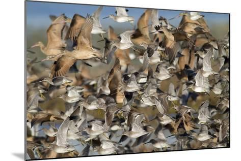 Large Flock of Shore Birds Takes Off-Hal Beral-Mounted Photographic Print