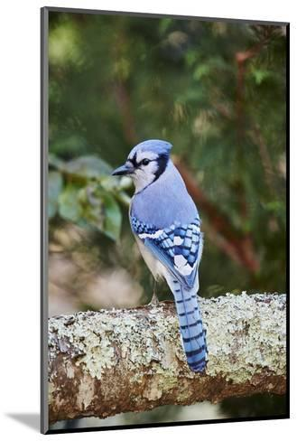 Blue Jay-Gary Carter-Mounted Photographic Print