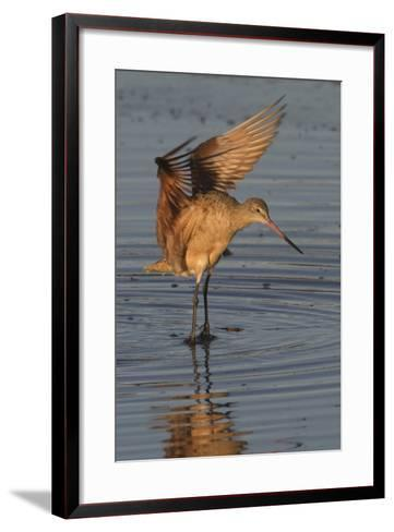 Marbled Godwit with Raised Wings-Hal Beral-Framed Art Print