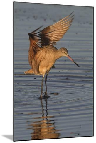 Marbled Godwit with Raised Wings-Hal Beral-Mounted Photographic Print