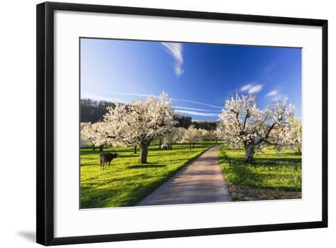 Cherry Orchard in Bloom-Frank Lukasseck-Framed Art Print