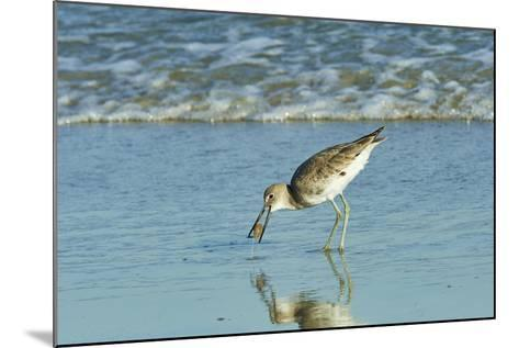 Willet;-Gary Carter-Mounted Photographic Print