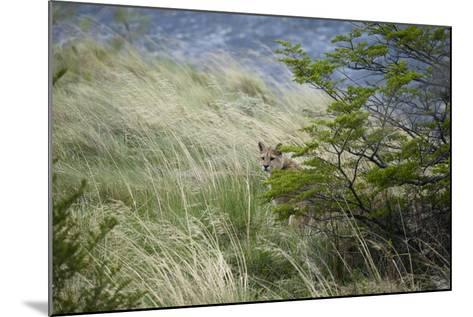 Wild Puma in Chile-Joe McDonald-Mounted Photographic Print