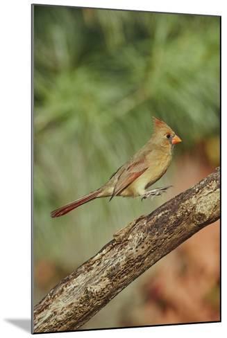 Northern Cardinal-Gary Carter-Mounted Photographic Print