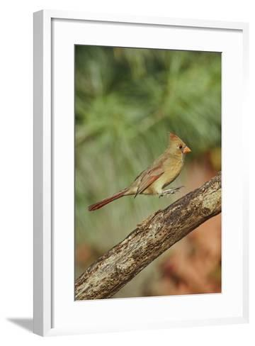 Northern Cardinal-Gary Carter-Framed Art Print