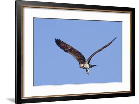 Osprey Takes Off-Hal Beral-Framed Art Print