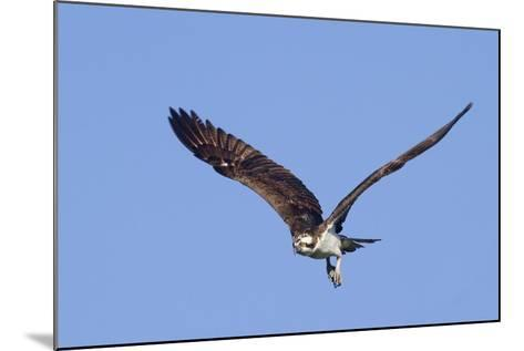 Osprey Takes Off-Hal Beral-Mounted Photographic Print